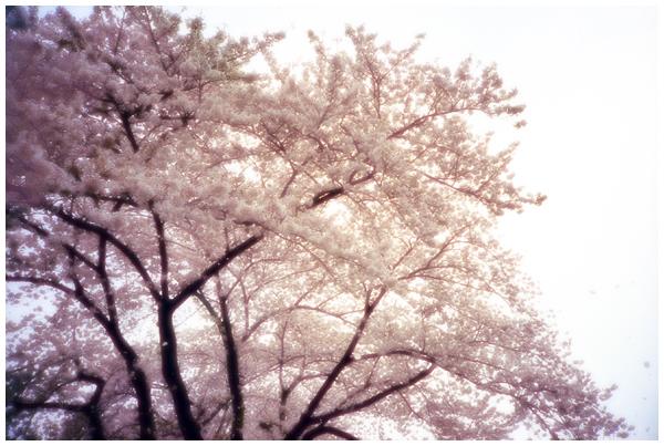 桜色舞うころ1.jpg