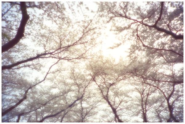 桜色舞うころ2.jpg