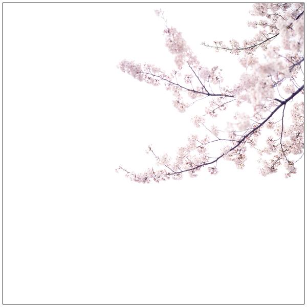 Hassel_sakura.jpg